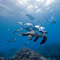 Ecuador, Galapagos Islands National Park,  Wolf Island, Underwater view of Pacific Sea Turtle (Chelonia mydas) at fish cleaning station surrounded by Steel pompano (Trachinotus stilbe)