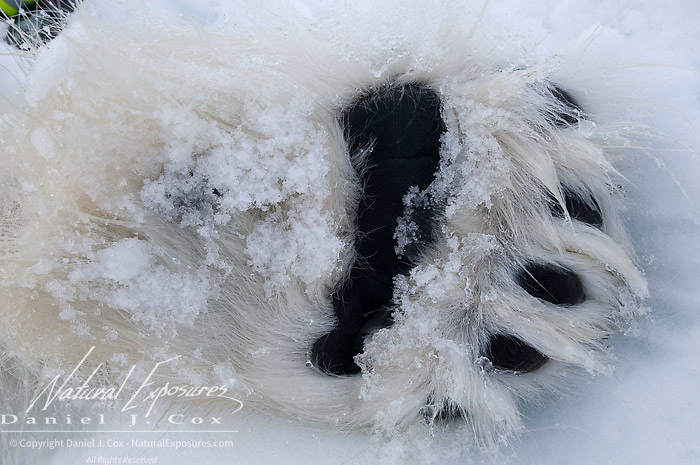Polar Bear (Ursus maritimus) the paws of a tranquilized bear. Beaufort Sea, Alaska.
