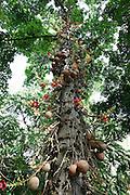 Cannonball tree, Foster Botanical Gardens, Honolulu, Oahu, Hawaii<br />
