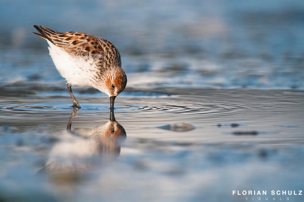 Migration of Shorebirds in Cordova, AK