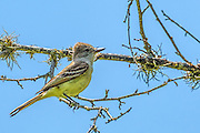 Brown-crested Flycatcher - Myiarchus tyrannulus sitting on a limb