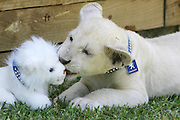 Rare White Lion Cubs In Sydney, Australia - 23 Nov 2006.Mogo Zoo  on New South WalesÍ South Coast has made Trans-Tasman history, breeding not one but two litters of white lion cubs in the space of just three months..Zoo Owner Sally Padey will have the 8-week old twins on hand to help NSW Tourism Minister, Sandra Nori launch the South Coast Holiday Planner and announce a competition to name these two new additions to the pride.Mathew McAuley, National Public Relations Manager from Peugeot will also be present. Peugeot is proud to be sponsoring Mogo ZooÍs efforts to save the rare white lions.