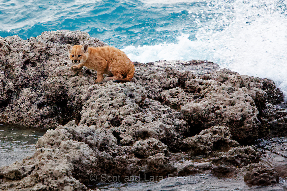 A 2 week old mountain lion is exploring the mineral deposits along the lake shore in Torres del Paine National Park.  It is a very windy day and the big wave splashing over the rock is about to drench him (or her).  He didn't seem too bothered although he did explore a little further inland after that.