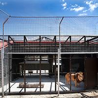 Spanje, Alicante,22 mei 2015.<br /> Stichting AAP die zich inzet voor opvang en welzijn van verwaarloosde dieren waaronder diverse apensoorten haalt nu verwaarloosde 2 tijgers en 2 leeuwen op bij een failliete circus in het plaatsje Lieusaint in de buurt van Parijs om ze vervolgens een betere toekomst te geven in opvangcentrum Primadomus in de buurt van Alicante Spanje.<br /> Op de foto: De 2 tijgers en leeuwen arriveren met de truck vanuit Frankrijk bij opvangcentrum Primadomus in de omgeving van Alicante. De kisten worden van de truck gehaald en de dieren worden geinstalleerd in hun nieuwe onderkomen. Eerst zullen ze enkele weken moeten rusten en wennen in een eerste kooi alvorens ze op een ruimer afgeschermd terrein mogen rondlopen.<br /> Op de foto: Reza bij aankomst acclimatiserend in zijn eerste nieuwe hok.<br /> <br /> <br /> <br /> Foto: Jean-Pierre Jans