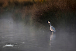 © Licensed to London News Pictures. 05/11/2017. LONDON, UK. A Heron on a misty lake on an Autumn morning at Richmond Park.  Photo credit: IAN SCHOFIELD/LNP