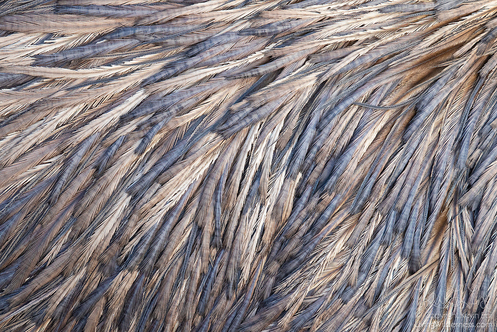 A close look at the back of a captive emu (Dromaius novaehollandiae) reveals a range of blue, violet and golden colors in the patterns of its feathers. The flightless bird is endemic to Australia and is the world's second-largest bird by height.
