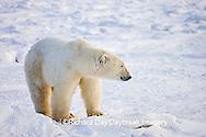 01874-109.03 Polar Bear (Ursus maritimus) near Hudson Bay, Churchill  MB, Canada