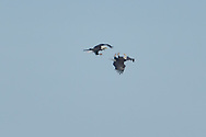 Adult Bald eagles fighting over the middle of Onondaga lake.