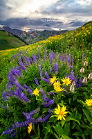 Freshly blossomed wildflowers blanket the hillside in Albion Basin atop Little Cottonwood Canyon in Utah's Wasatch Mountains.