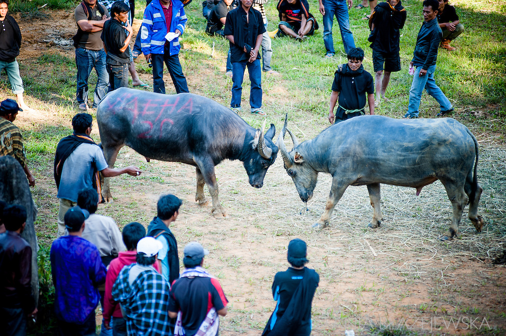 Indonesia, Sulawesi. Buffalo fighting.<br /> Sometimes buffalo fights are organised one day before a funeral.