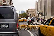 USA. New York -dog walker on Fifth avenue in Manhattan, in front of the MET museum    / promeneur de chiens sur La cinquième avenue devant le MET musee