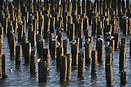 New York. seagulls of Hudson river, v New York - United states  /  des mouettes de l Hudson river, vue depuis Hoboken New Jersey  New York - Etats-unis