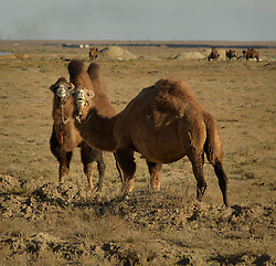 October 8, 2018 - Zhezkazgan, Karagandy Region, Kazakhstan - Bactrian camels roam the grasslands of the Baikonur Space Center October 8, 2018 in Baikonur, Kazakhstan. The International Space Station Expedition 57 crew of Flight Engineer Nick Hague of NASA, Flight Engineer Alexey Ovchinin of Roscosmos are scheduled to launch from Baikonur on October 11th on a six month mission aboard the International Space Station. (Credit Image: © Bill Ingalls via ZUMA Wire)