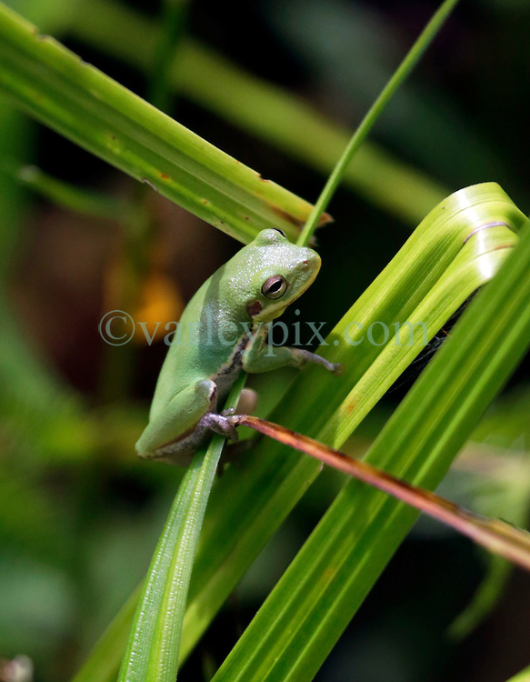 01 June 2015. Jean Lafitte National Historic Park, Louisiana.<br /> A green tree frog at the Barataria Preserve wetlands south or New Orleans. <br /> Photo&copy;; Charlie Varley/varleypix.com