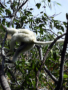 A Silky sifaka (Propithecus candidus) jumping among the trees in Parc National de l'isalo.