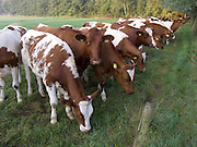calves grazing at the edge of a field