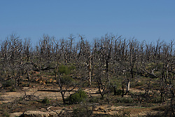 Lasting effects of forest fires in Mesa Verde National Park, near Cortez, Colorado.  The Bircher and Pony Mesa fires of 2000, both caused by lightning,  burned over 20,000 acres of pinyon pine trees in the park's 52,000+ acres.
