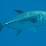 Horse-eye Jack inhabit open water in Tropical West Atlantic; picture taken Grand Cayman.