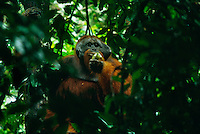 Adult male Bornean Orangutan in his prime with large cheek pads.  Feeding on fruit..  Gunung Palung National Park, Indonesia.