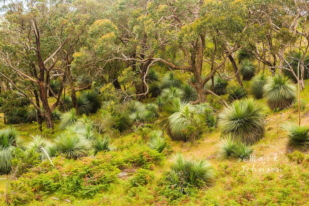 Grass trees, Fleurieu Peninsula, South Australia