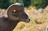 September 16, 2007 -- Kananaskis Provincial Park, alberta, Canada.  Bighorn Sheep in Kananaskis Country near Lantern Creek.