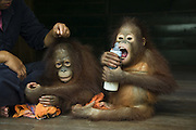 Bornean Orangutan<br /> Pongo pygmaeus<br /> Two year old infants playing with milk bottle<br /> Orangutan Care Center, Borneo, Indonesia