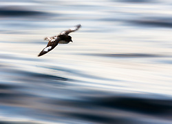 Cape petrel (Daption capense) i sub-Antarctic oceans south of New Zealand