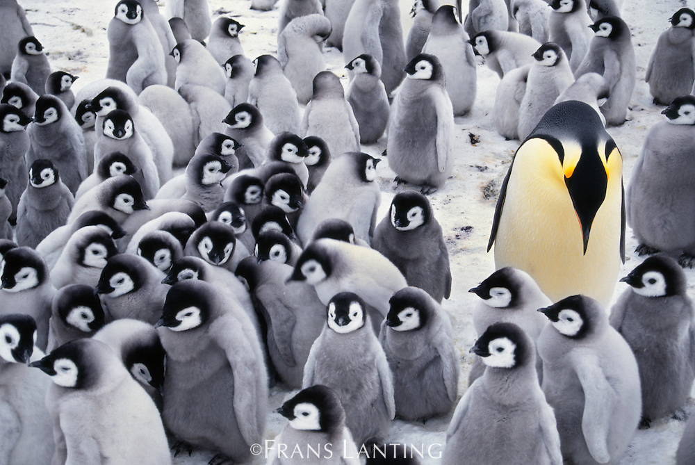 Emperor penguin with chicks, Aptenodytes forsteri, Antarctica