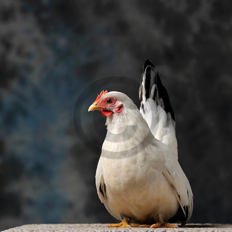 23/11/12 - MONTLUCON - ALLIER - FRANCE - Concours National Avicole de Montlucon. Poule Chabo blanc a queue noire. Eleveur Thierry Lanquetin - Photo Jerome CHABANNE