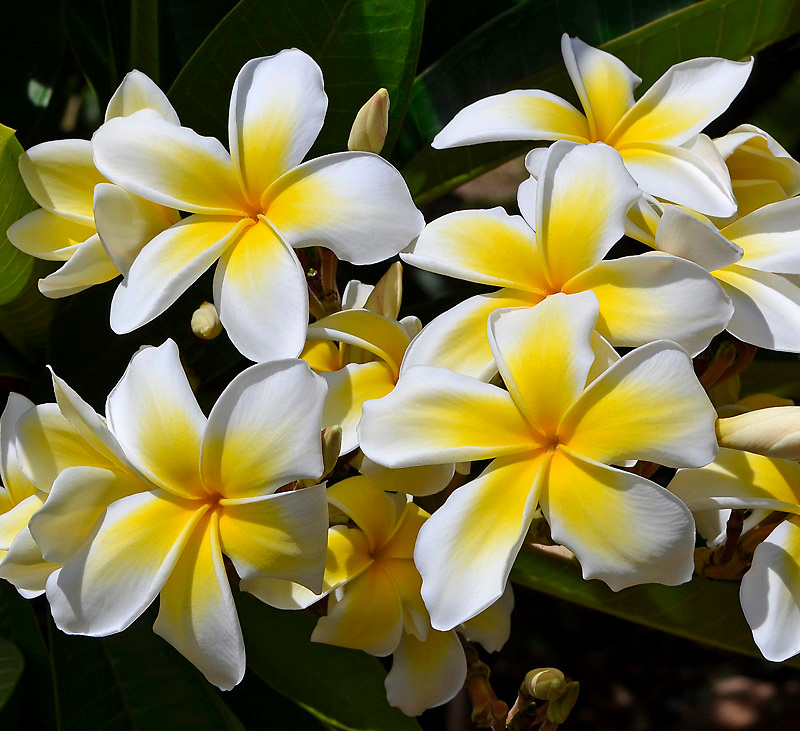 Plumeria is a collection of Al Harty's beautiful Plumeria flowers that grow on Maui, Hawaii.