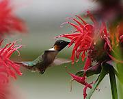 MALE HUMMING BIRD FEEDING AT BEEBAUM
