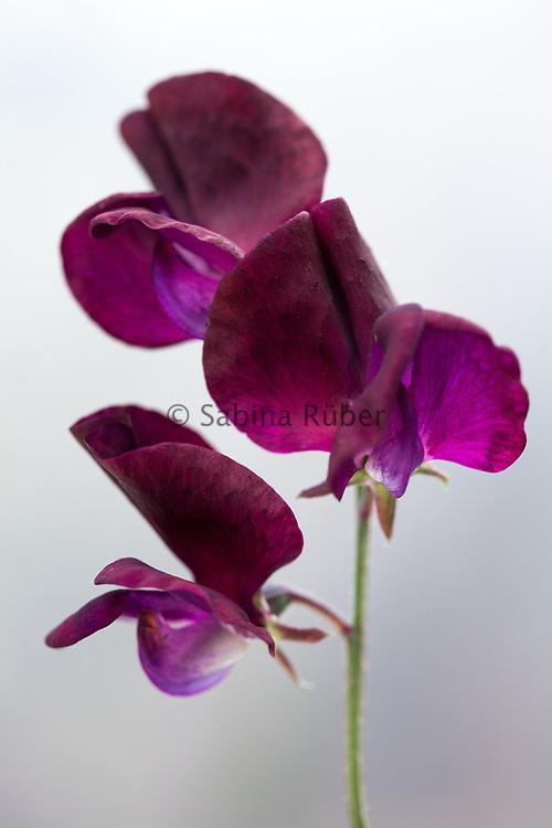 Lathyrus odoratus 'Beaujolais' - sweet pea