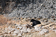 Black Bear, Animal Carcass, Yellowstone National Park,Wyoming