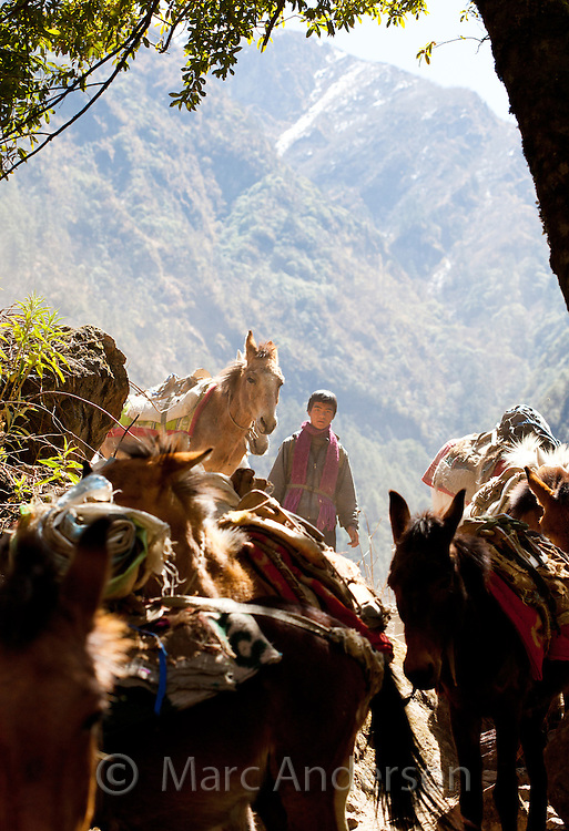 Man with his mule train on a narrow path along the Langtang Valley, Nepal