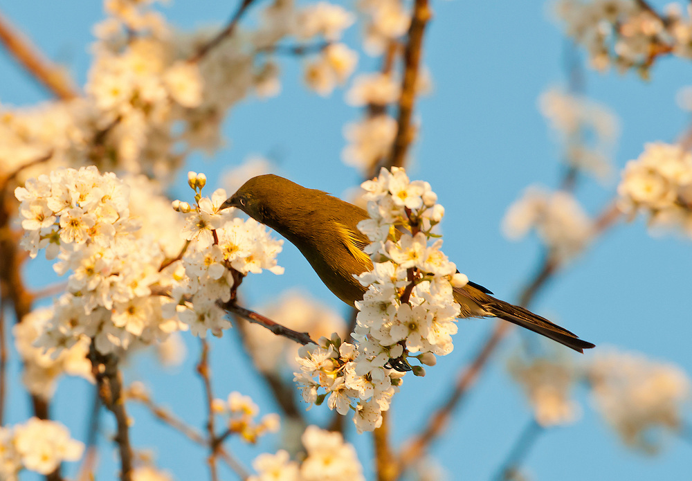 A bellbird hunts for nectar amidst plumb tree blossoms in the late afternoon light, Owhango, Central North Island, New Zealand, Thursday August 30, 2012. Credit:SNPA / Malcolm Pullman