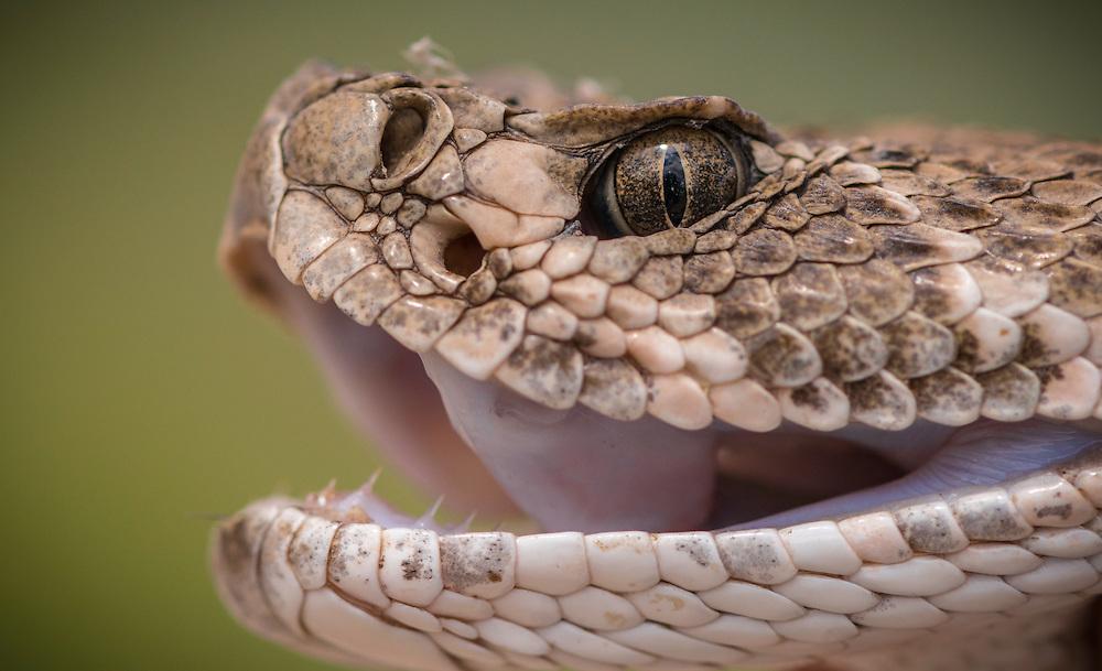 Western Diamond-backed Rattlesnake, Crotalis atrox<br /> Photographer:  Elaine Brackin <br /> Property:  Colville River Ranch / Gene &amp; Kathleen Colville <br /> Calhoun/Refugio Counties