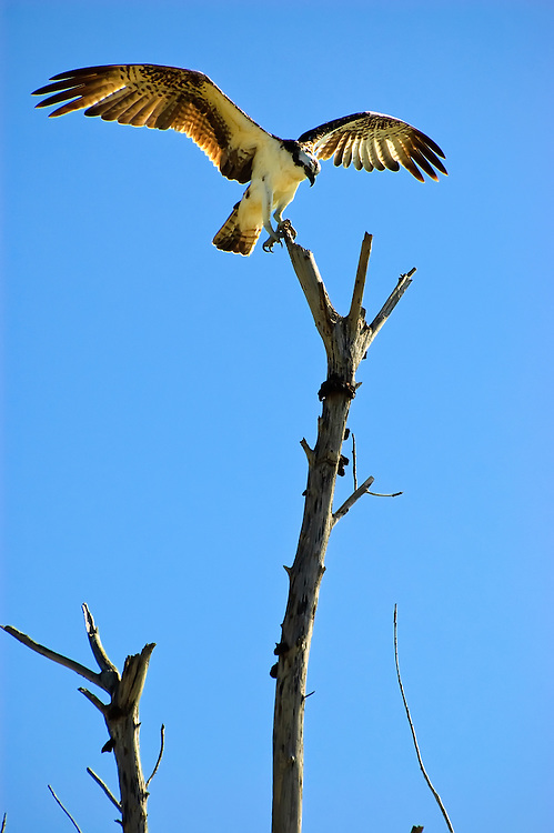 Osprey spreading its wings on top of a dead tree in Punta Rassa, Florida. Beautiful!!!