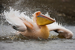 A great white pelican (Pelecanus onocrotalus) makes a landing into the lake,Lake Nakuru,Kenya,Africa