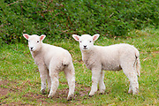 Young lambs in Exmoor National Park, Somerset, United Kingdom