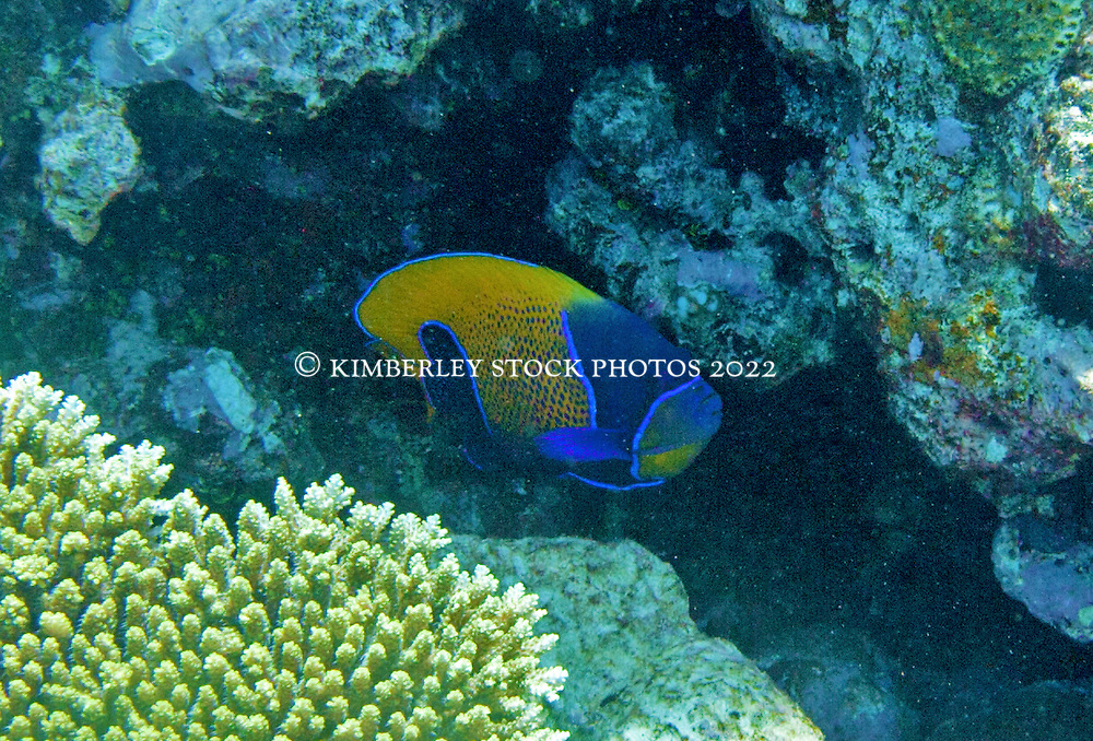 A Bluegirdle Angelfish (Pomacanthus navarchus) watches from a protective overhand at the Rowley Shoals.  This fish is found on most offshore reefs of North Western Australia.