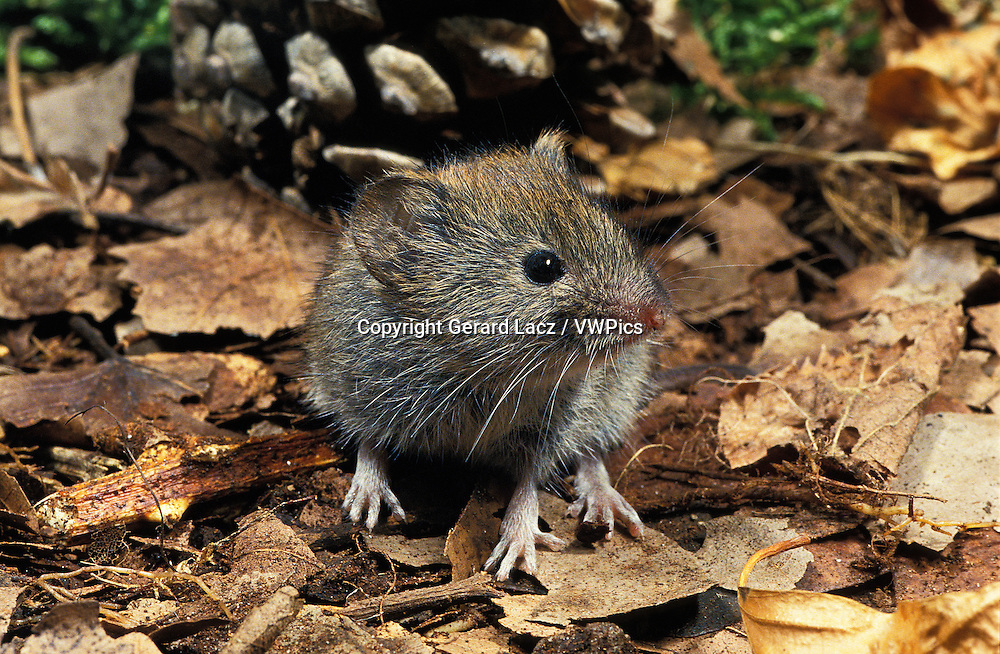 Bank Vole, clethrionomys glareolus, Adult standing on Fallen Leaves