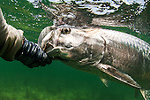 Tarpon Stock Photos