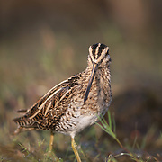 The pin-tailed snipe or pintail snipe (Gallinago stenura) is a species of bird in the family Scolopacidae, the sandpipers.