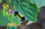 Seven participants and two guides led a Wilderness Inquiry canoe adventure on Brule Lake in the Boundary Waters from Sept. 5 to September 9, 2012...A Spotted Tussock moth caterpillar (Lophocampa maculatte) munches on some leaves along a trail.