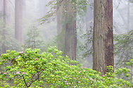 Rhododendrons grow amongst the redwoods along the California coast.  Fog regularly permiates the forest, giving these giants the perfect conditions in which to grow.