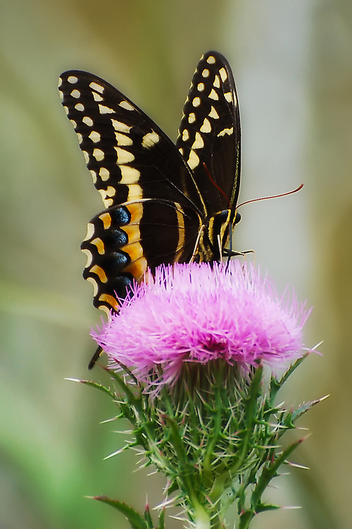 Palamedes swallowtail on a thistle in the Okaloacoochee Slough in South-Central Florida, Hendry County.