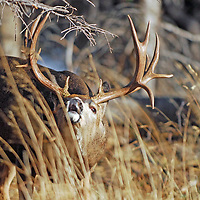 trophy non typical mule deer buck  with drop tines and kickers lip curling, flemming