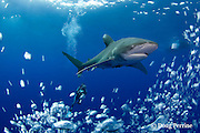 Scubazoo cameraman Jason Isley and oceanic whitetip shark, Carcharhinus longimanus, off the Kona Coast of Hawaii Island ( the Big Island ), Hawaiian Islands ( Central Pacific Ocean ) MR 383