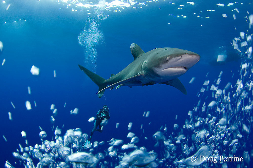 Scubazoo cameraman Jason Isley and oceanic whitetip shark, Carcharhinus longimanus, off the Kona Coast of Hawaii Island ( the Big Island ), Hawaiian Islands ( Central Pacific Ocean ) MR 383