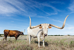 Texas longhorns from Official State of Texas Longhorn Herd, Fort Griffin State Historic Site, Albany, Texas USA.